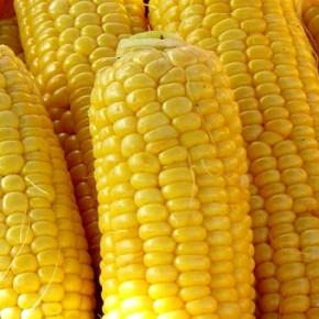 Вполне реализуем потенциал семян гибридов кукурузы