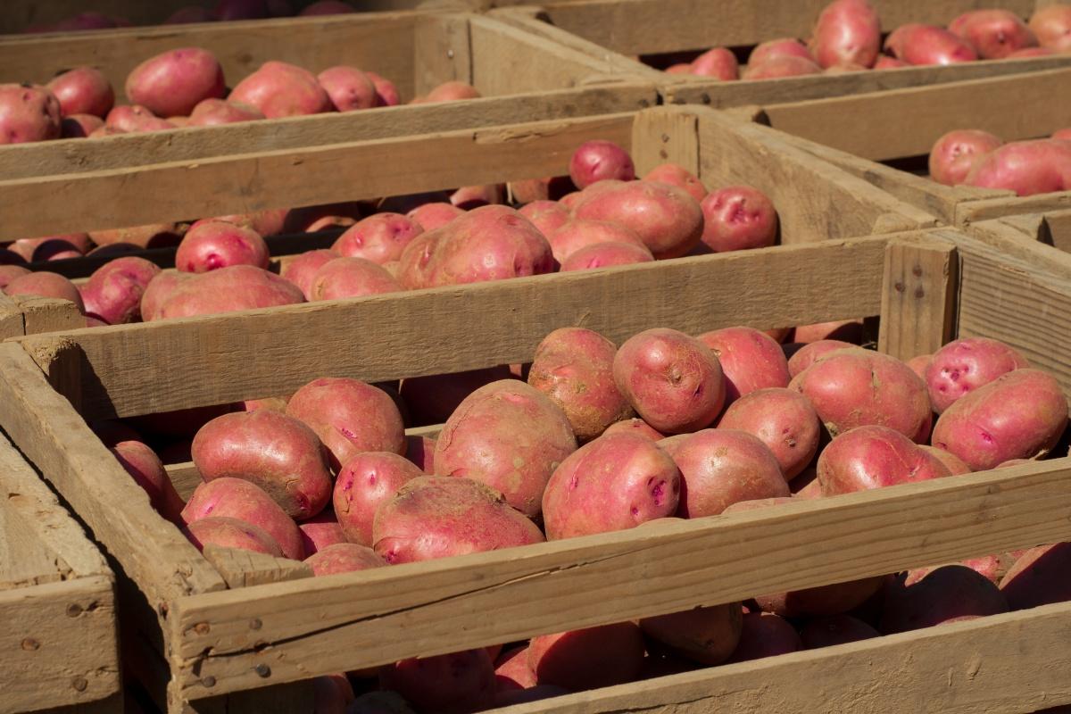 Этапы цикла возделывания картофеля