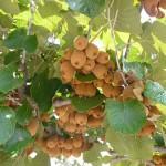 Как выращивают киви из семян в домашних условиях?