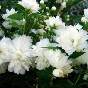 Как выращивать жасмин на участке