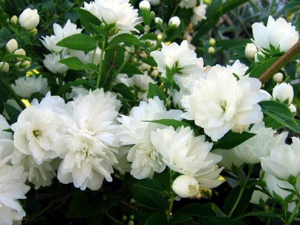 Как выращивать жасмин