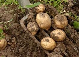 Как выращивать картофель в старых автомобильных шинах