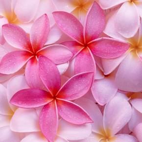 Как посадить алтей розовый на участке