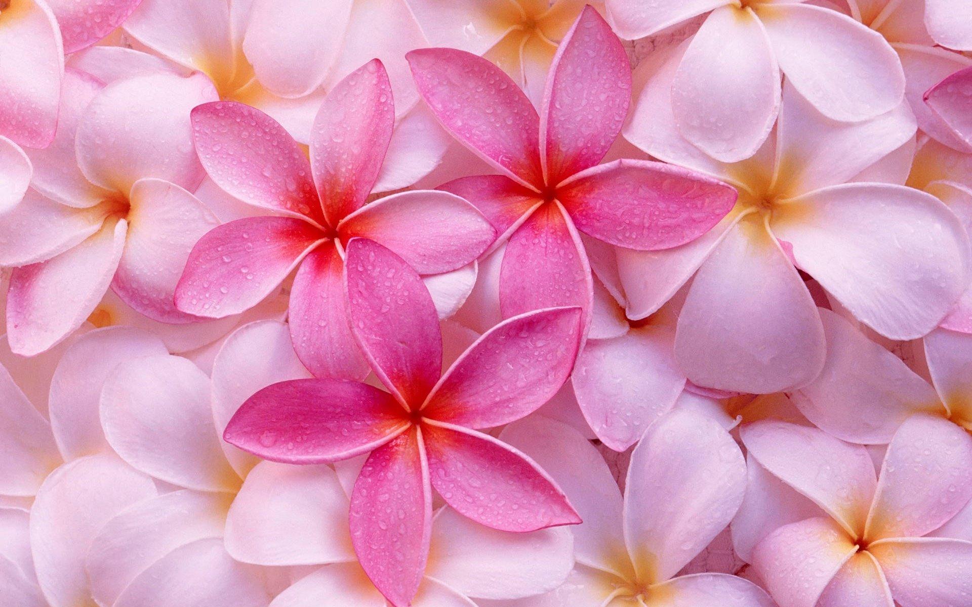 Как посадить, алтей розовый, на участке