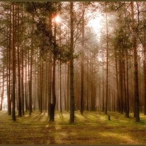 Сад с запахом соснового бора
