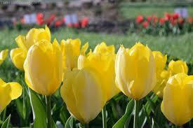Как хранить, луковицы, тюльпанов