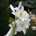 Лилия белая: использование в народной медицине, лечебные свойства