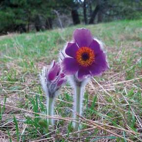 Первый цветок Полесья