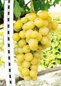 Лучшие и новые сорта ежевики и винограда в 2015 году
