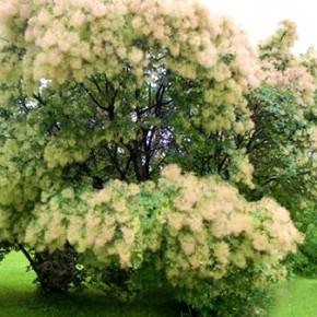 Скумпия в саду: посадка, правила ухода, полезные свойства