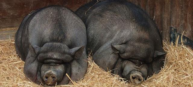 Опрятные и послушные - вьетнамские свиньи