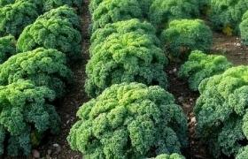 Когда сажать и собирать урожай кудрявой капусты в 2017-2018 году?
