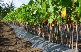 Технология выращивания и профилактика заболевания виноградной лозы в 2017-2018 году
