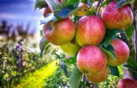 Какими биологическими препаратами лучше всего обрабатывать яблоки?