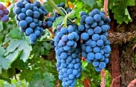 Как сохранить до весны свежий виноград?