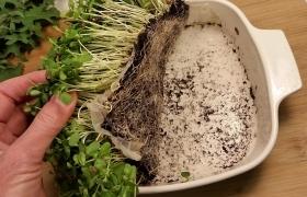Как выращивать микрозелень дома?