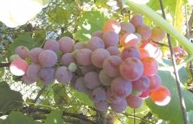 Катавба ранняя- зимостойкий и урожайный виноград