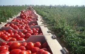 Ауксин увеличивает урожайность и ускоряет созревание помидоров
