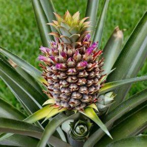 Ананас - польза и вред, состав, калорийность. Как выбрать ананас, рецепты приготовления