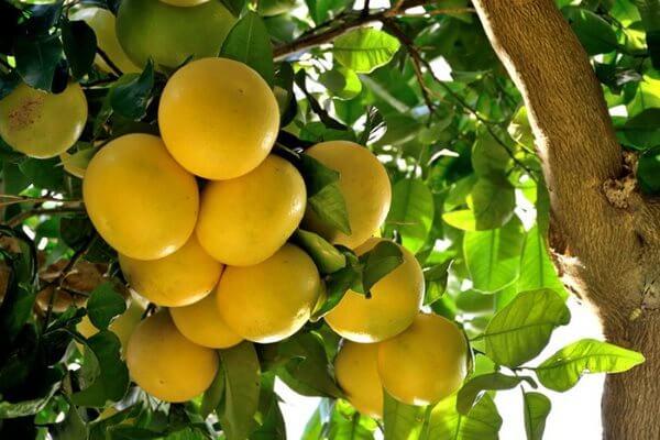 Грейпфрут - польза и вред, калорийность и состав. Как правильно грейпфрут едят? Как вырастить в домашних условиях