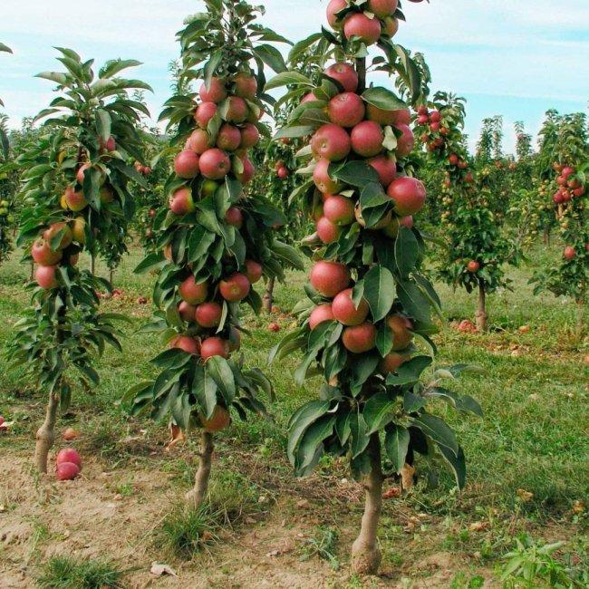 Как вырастить колоновидную яблоню. Посадка, уход, обрезка