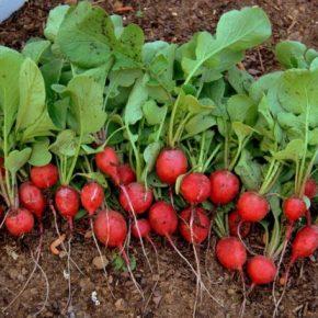 Как вырастить раннюю редиску в открытом грунте