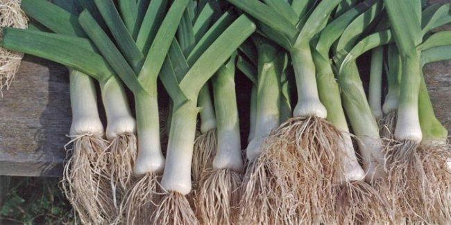Как выращивать лук- порей
