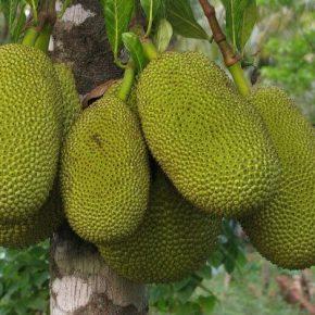Джекфрут - полезные свойства, противопоказания, калорийность, состав. Как едят джекфрут, как вырастить дома?