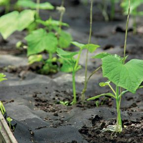 Как проверять семена огурцов на сходство в домашних условиях