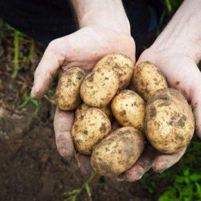 """Как сажать """"озимую"""" картофель для раннего урожая"""