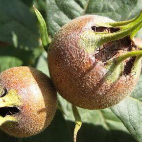 Мушмула обыкновенная (немецкий) - полезные свойства, противопоказания, состав, калорийность. Как едят мушмулу, рецепты. Как вырастить в домашних условиях