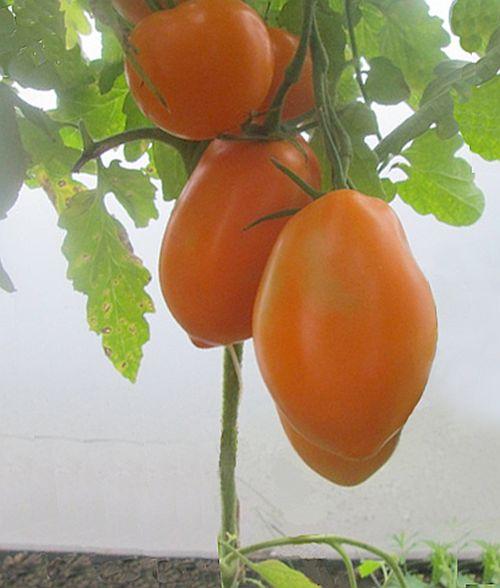 Описание сорта томата Южный загар: урожайность и особенности выращивания