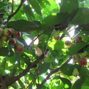 Чомпу (розовое яблоко) - полезные свойства, противопоказания, состав, калорийность. Как едят Чомпу, рецепты