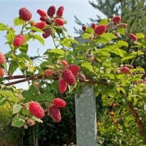 Что следует знать о штамбовой малине: сорта, выращивание, обрезка, формирование