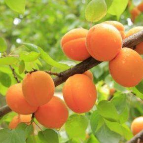 Абрикос - полезные свойства, состав и калорийность, лучшие сорта. Рецепты с абрикосами