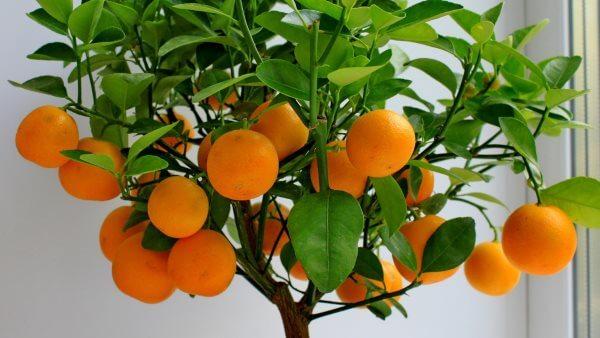 Апельсин - полезные свойства, противопоказания, рецепты. Как вырастить апельсин в домашних условиях