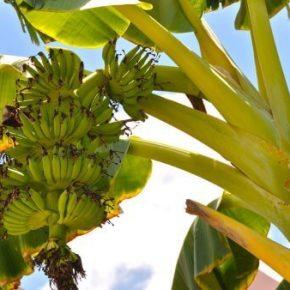 Банан - как растет, полезные свойства и противопоказания, калорийность и состав. Рецепты и выращивания дома