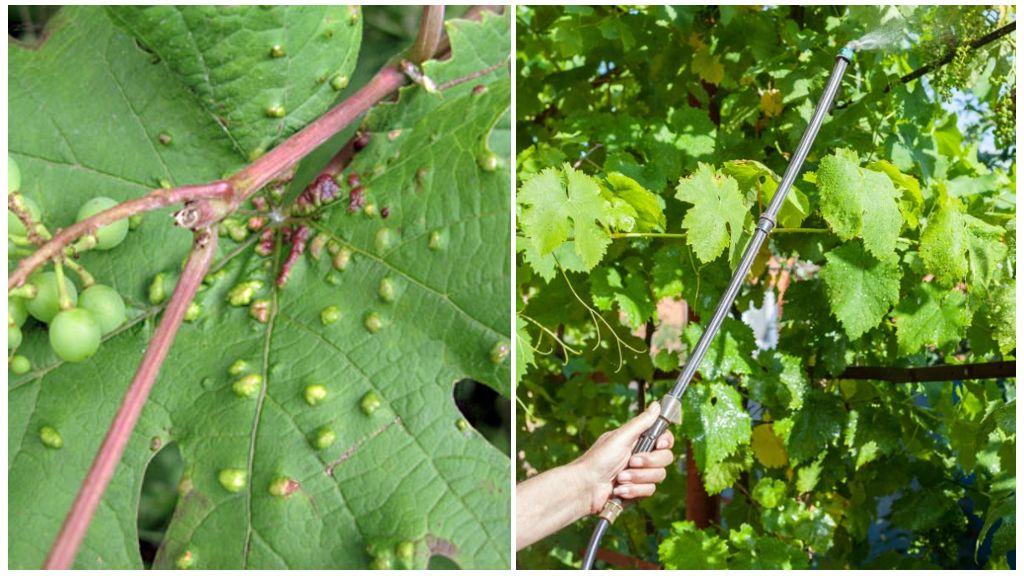 Виноградный клещ - методы борьбы и препараты