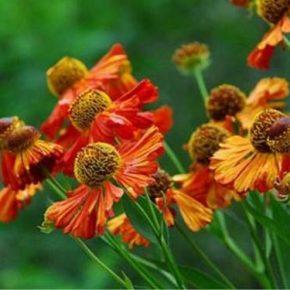 Гелениум: посадка и уход за цветком в открытом грунте и в ландшафтном дизайне