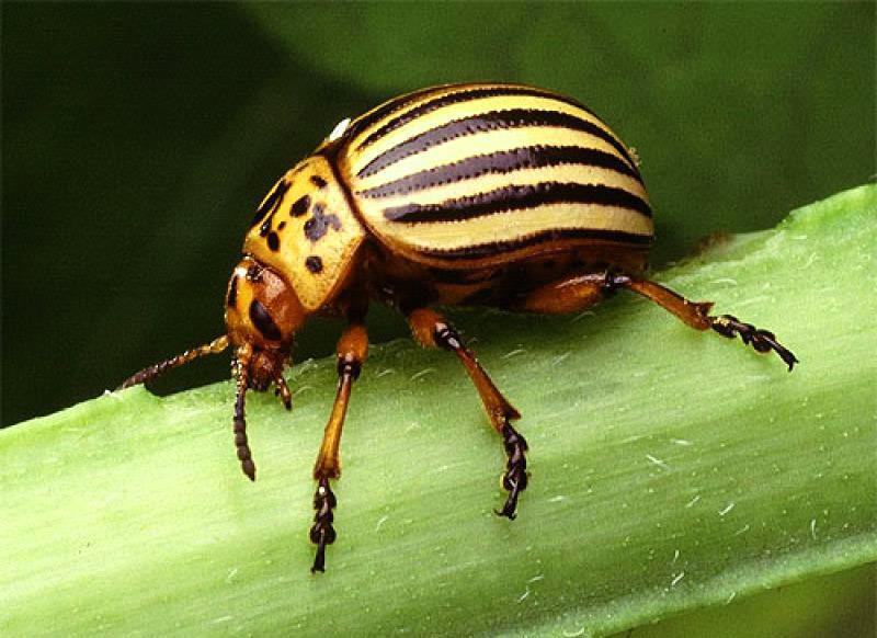 Народные методы, которые помогут избавиться колорадского жука
