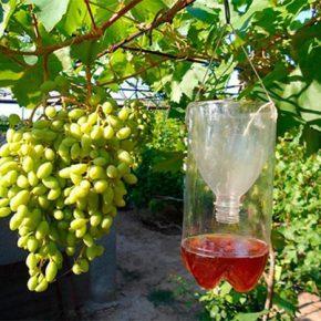 Несколько советов, как защитить виноградник от ос