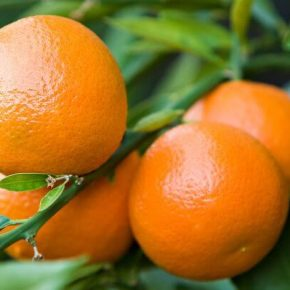 Клементин - польза и вред, состав, калорийность, содержание полезных веществ. Как выбирать и хранить клементины, рецепты