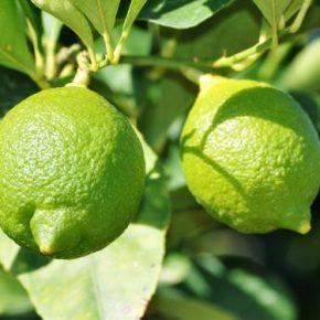 Лайм - описание растения и фрукта, польза и вред, калорийность, состав. Как выбирать и хранить лайм, рецепты, выращивание дома