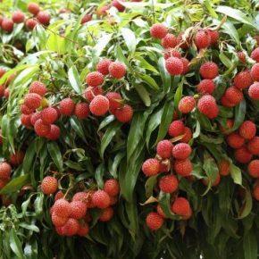 Личи - полезные свойства, противопоказания, состав, калорийность. Как есть личи, выбор фрукта, выращивания дома