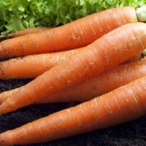 Когда сажать морковь в 2018 году?