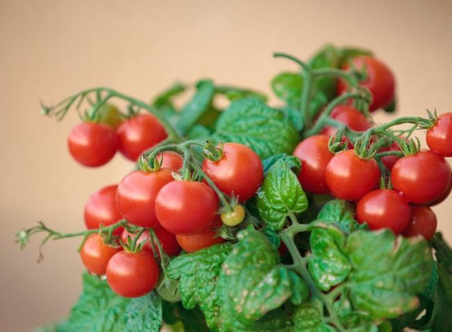 Как правильно выращивать помидоры черри
