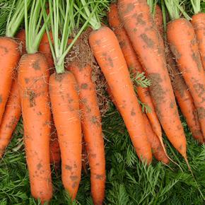 Когда сеять морковь в открытый грунт в 2018 году по лунному календарю