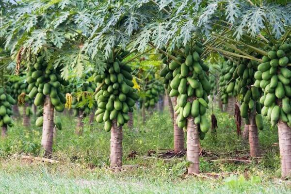 Папайя - полезные свойства, противопоказания, состав, калорийность. Как едят папайю? Выращивание папайи в домашних условиях