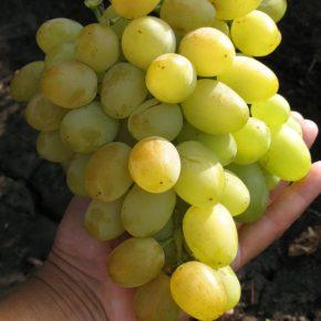 Виноград: описание 27 самых популярных сортов, их характеристика