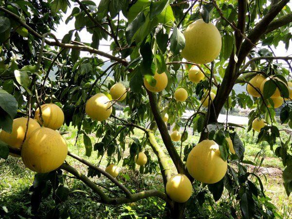 Помело - описание, польза и вред фрукта, состав, калорийность. Как выбрать помело? Выращивание в домашних условиях